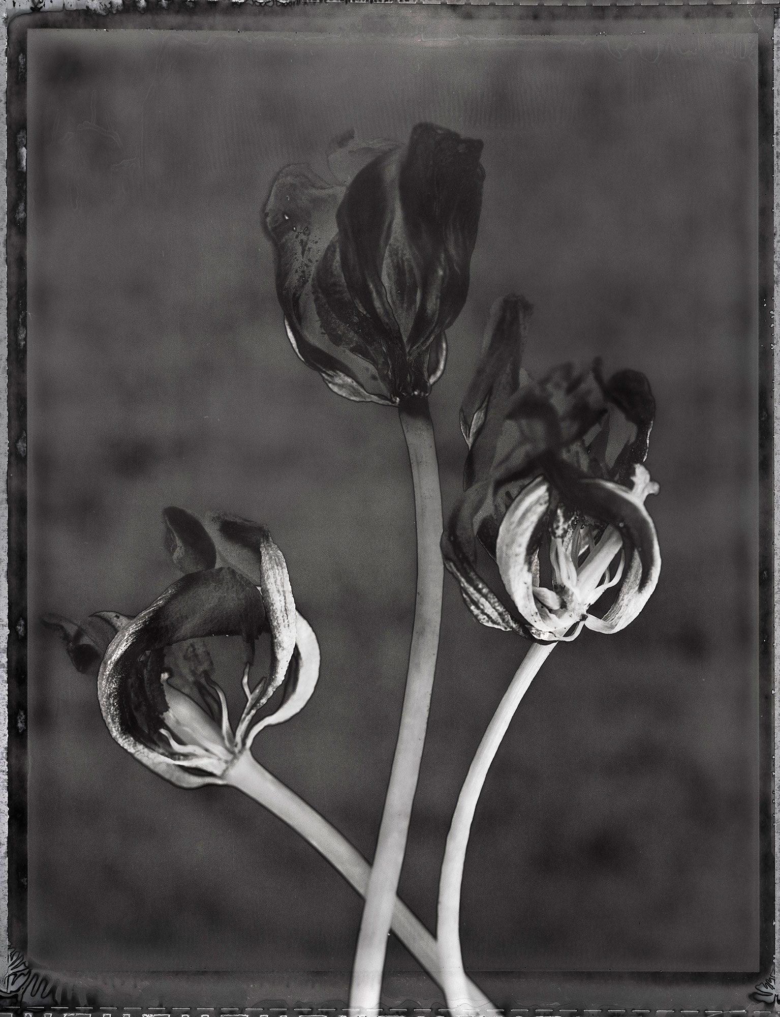 Tulips-(2)