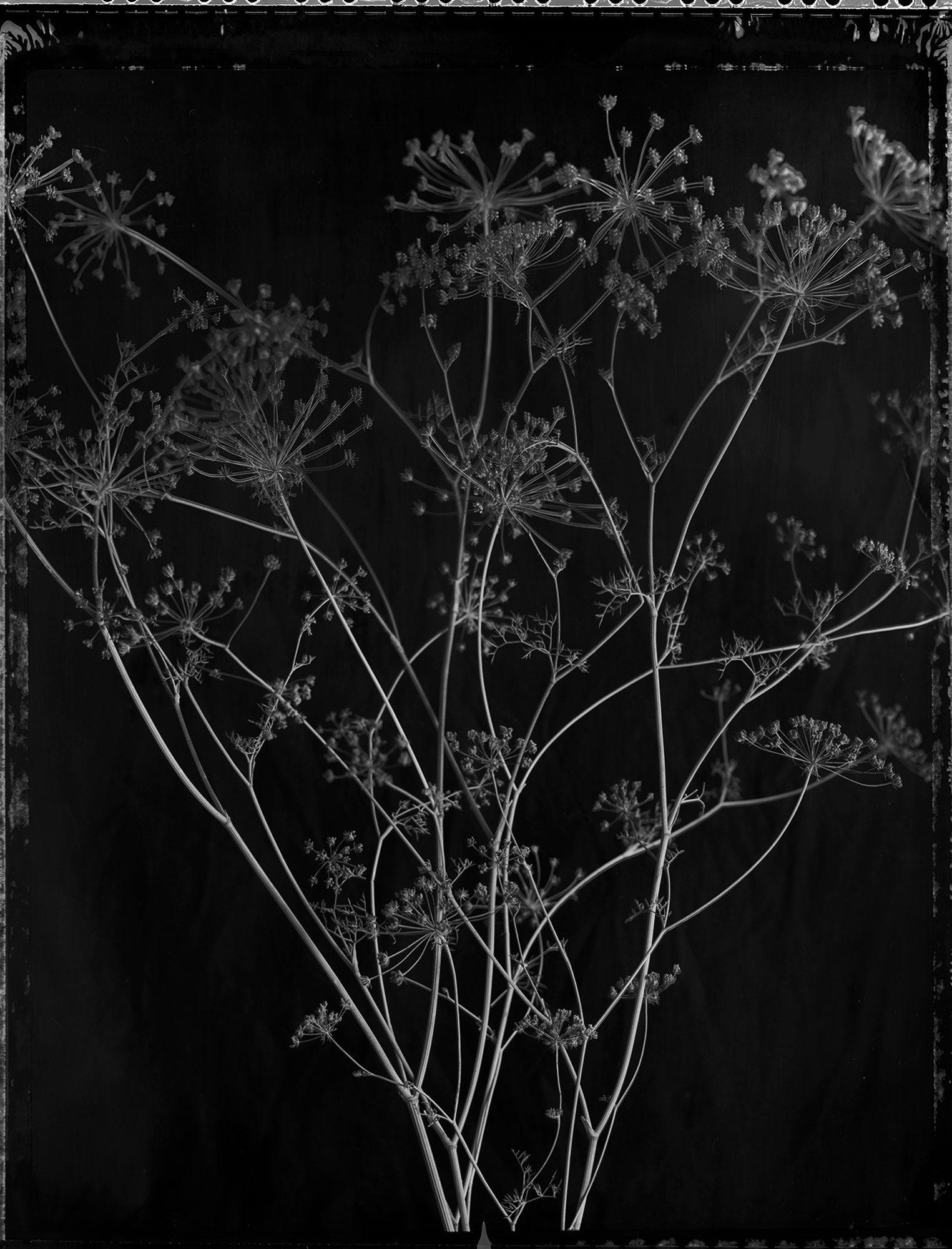 fennel-black